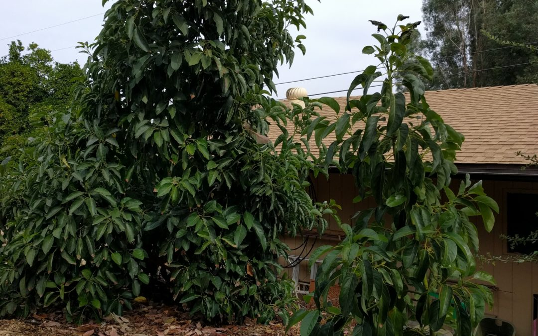 Cross pollination of avocados, or Why I planted a Hass next to a Fuerte