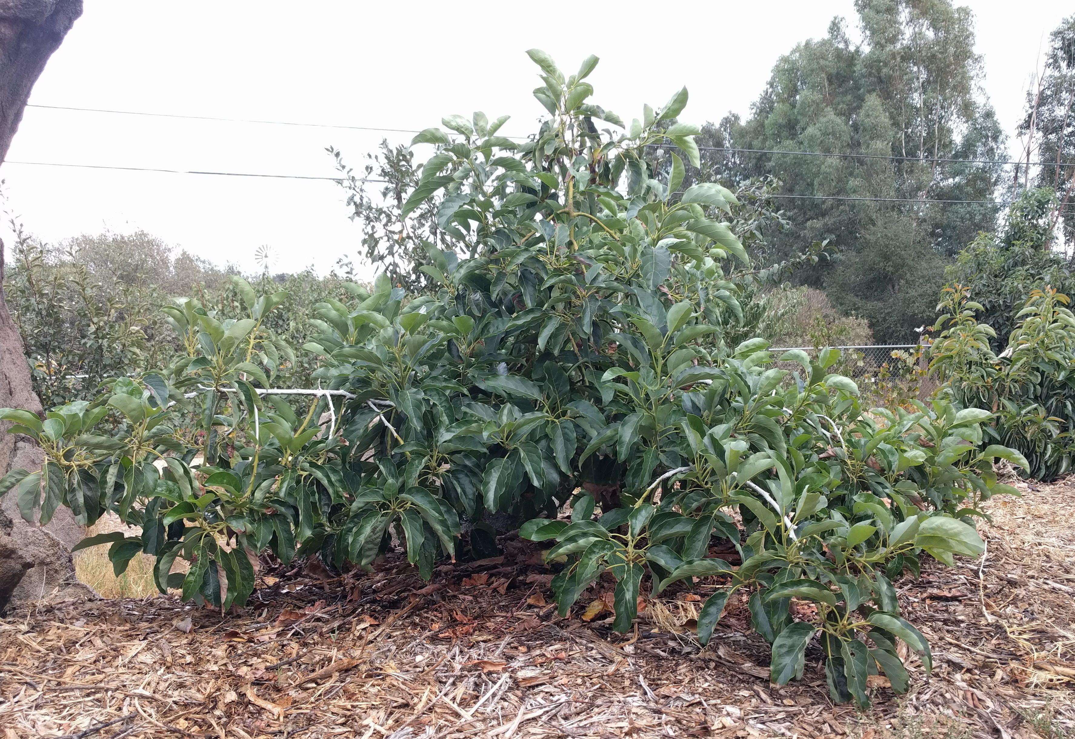 How Long Until An Avocado Tree Fruits Greg Alder S Yard Posts Southern California Food Gardening