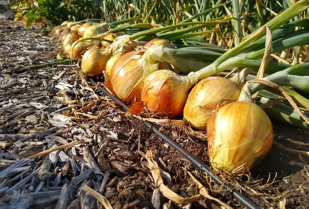 Growing onions in Southern California