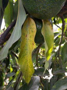 senescent Reed avocado leaf