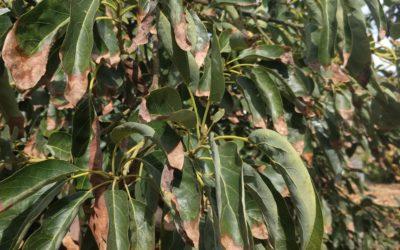 tip burn brown Hass avocado leaves