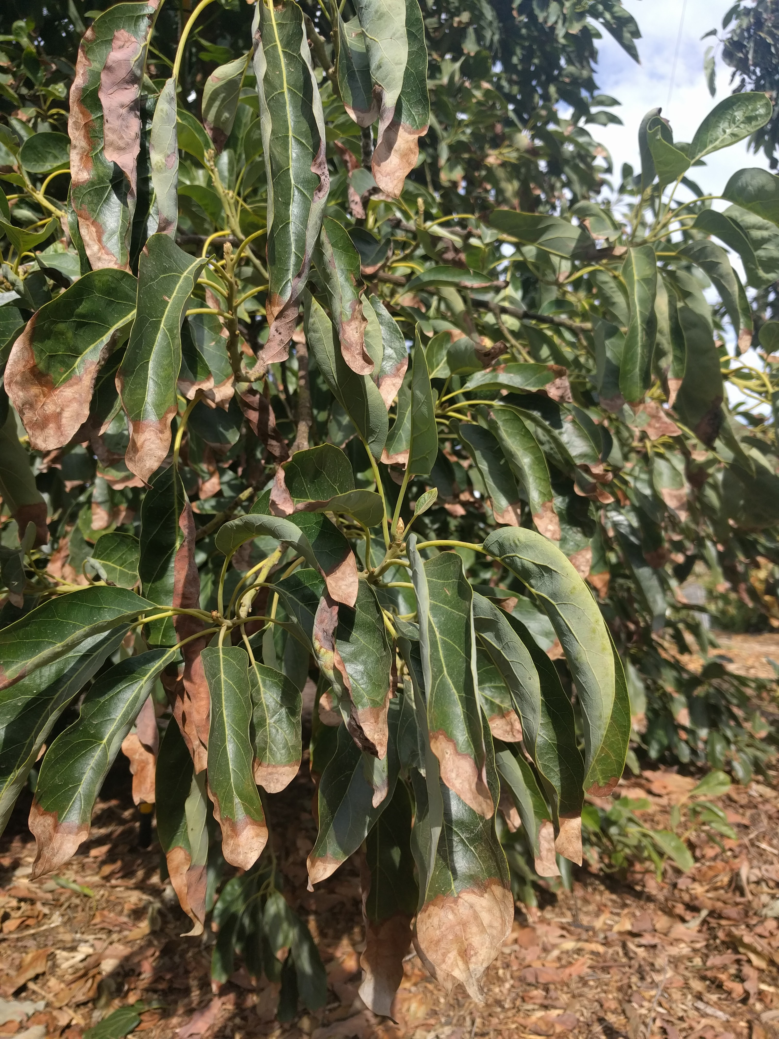 Avocado Leaves Turning Brown Heres Why And What To Do Greg