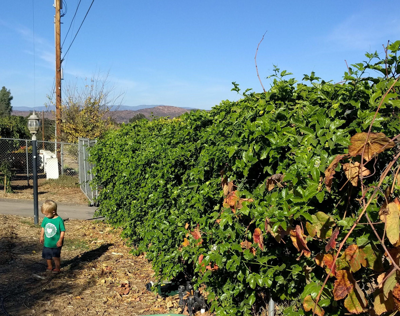 Passion Fruit Best Edible Evergreen Vine Greg Alders Yard Posts