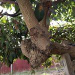 Japanese Fuerte pruning cuts