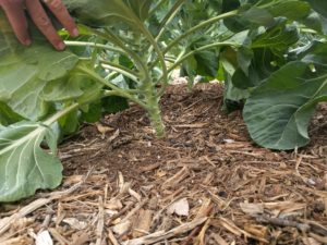 wood chip mulch under brussels sprouts