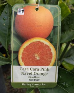 Cara Cara navel orange tree tag Durling Nursery