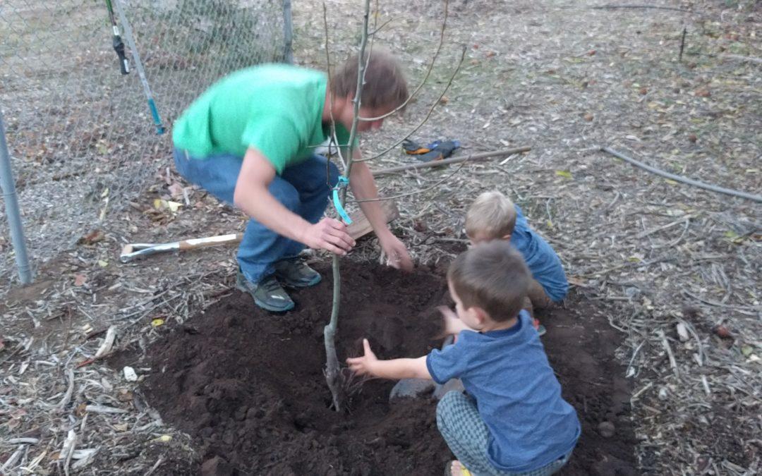 planting bare-root Fan-stil pear