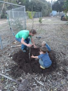 planting bare-root Fan-stil pear