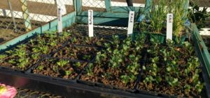 vegetable seedlings in January