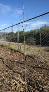 bare root Fan-stil pear tree