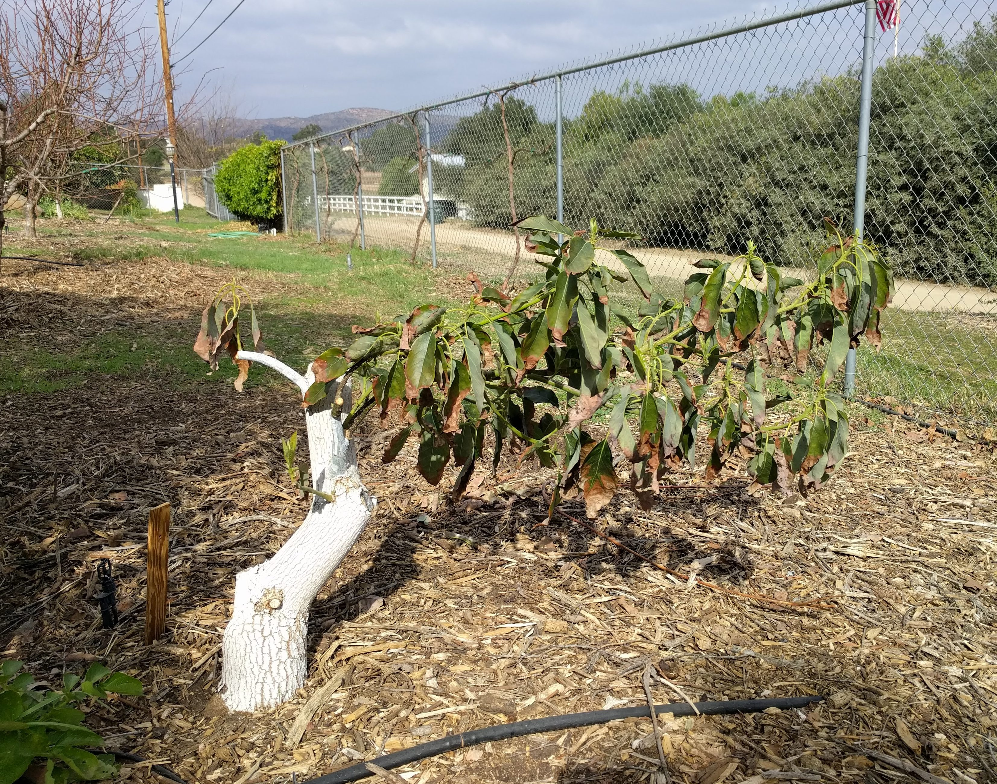 Pruning avocado trees - Greg Alder's Yard Posts: Food Gardening in