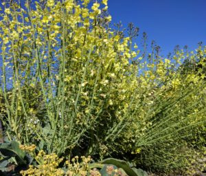 flowering broccoli plant