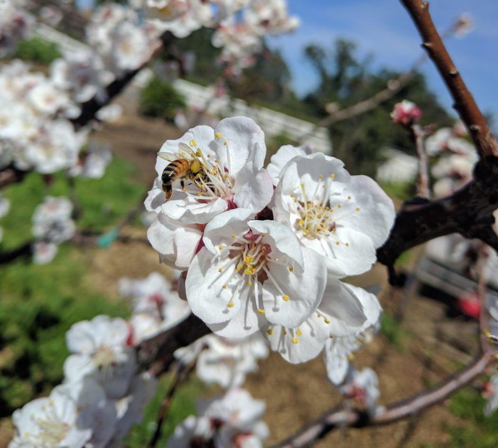 honey bee on apricot flower