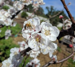 honey bee on apricot flower