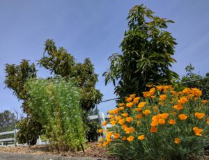 flowering cilantro and poppies near avocados to attract bees