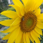native bee on sunflower