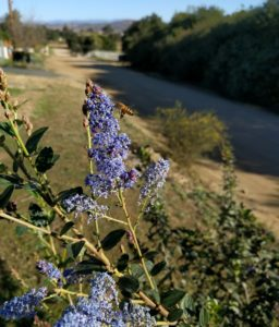 bee on flower of Ceanothus 'South Coast Blue'