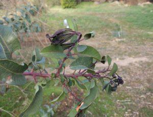 cold damaged laurel sumac