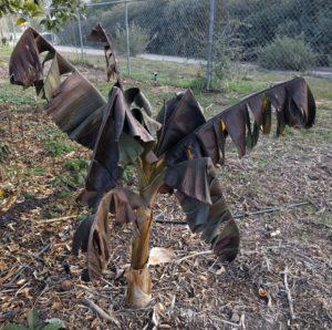 cold damaged banana plant