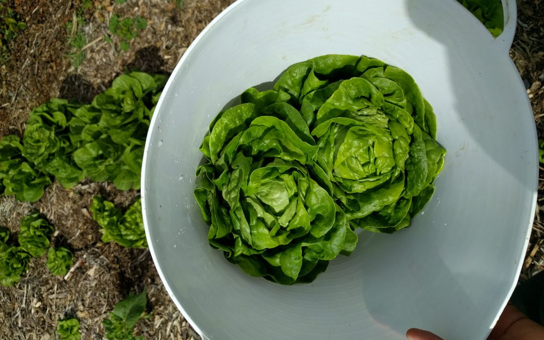 Growing and harvesting lettuce in Southern California