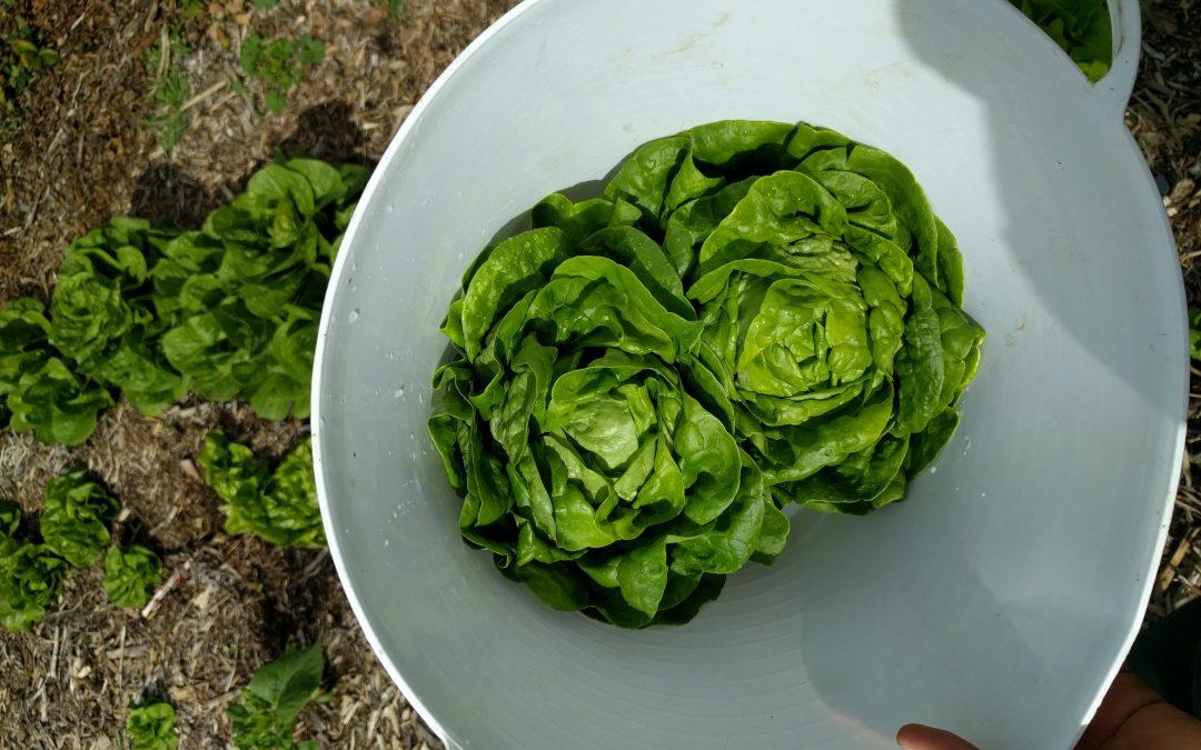 Butterhead lettuce harvest