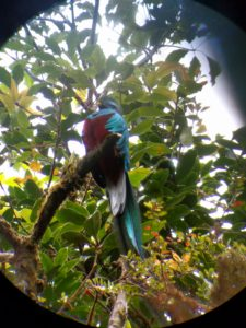 Quetzal eating wild avocados in Monteverde Cloud Forest Costa Rica