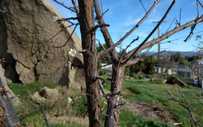 Don't cut off the fruiting wood: Pruning lesson number one