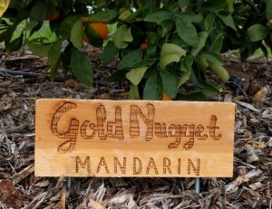 Tree sign for gold nugget mandarin