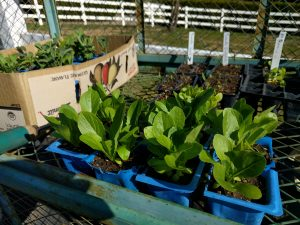 lettuce seedlings due for planting