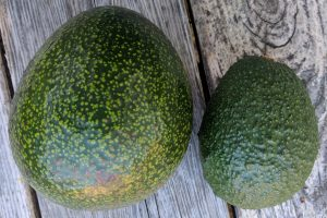 reed avocado fruit versus hass avocado fruit