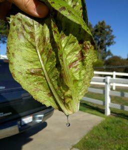 rinsing milky sap off lettuce stem