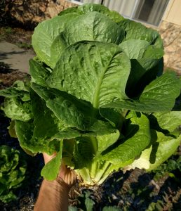 romaine just harvested