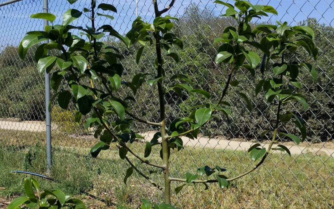 Effects of a warm and wacky winter on deciduous fruit trees