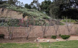 Fruit trees planted close together in hedge eight feet apart