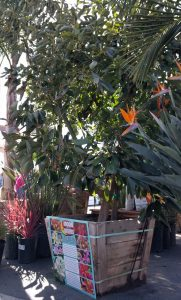 Hass avocado growing in container with fruit