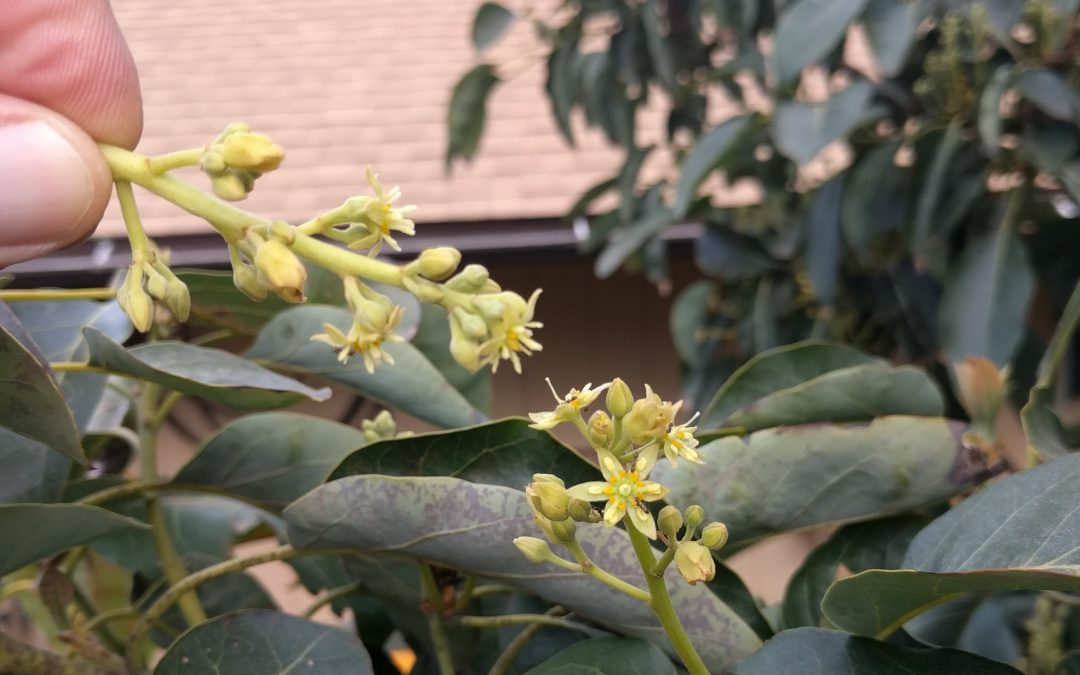 Hand pollinating avocados