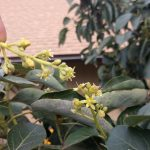 hand pollinating avocado flowers direct contact