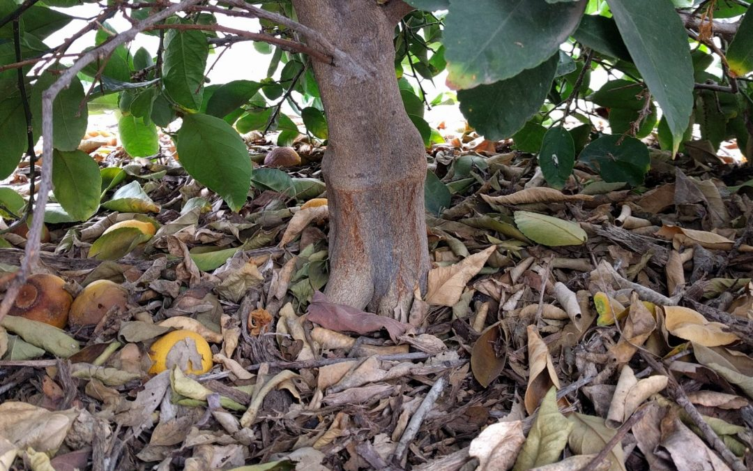Bearss lime tree mulch touching trunk