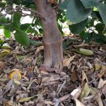 Bearss lime tree mulch touching trunk