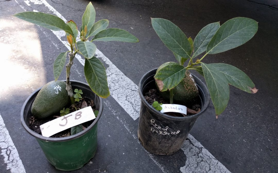 How to plant and stake an avocado tree