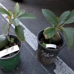 Jan Boyce and Kahaluu avocado trees in containers