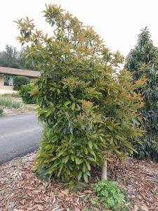 Lamb avocado tree leaning