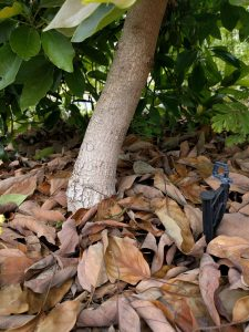 Lamb avocado tree with microsprinkler and mulch touching trunk