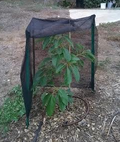 Shadecloth over young Sharwil avocado tree