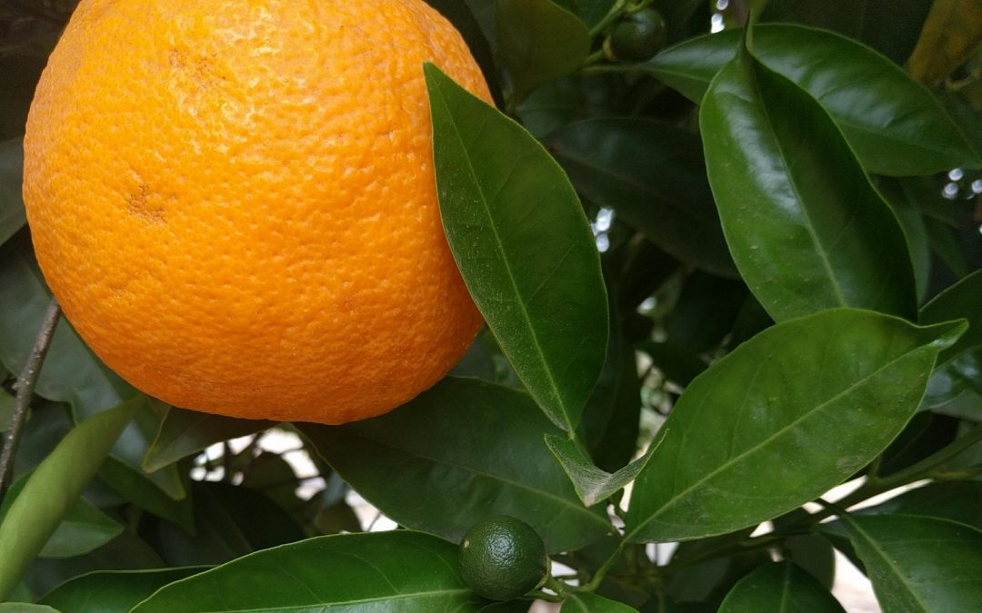 When to pick oranges and tangerines