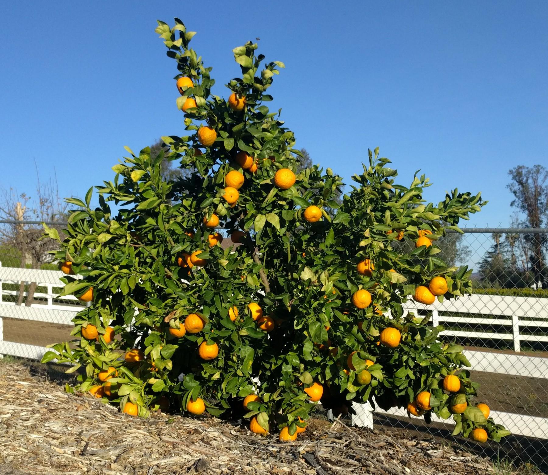 When to pick oranges and tangerines - Greg Alder's Yard