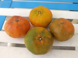 mandarins of Costa Rica