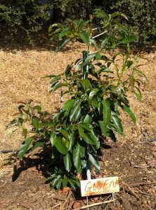 Gwen avocado tree with three foot canopy diameter