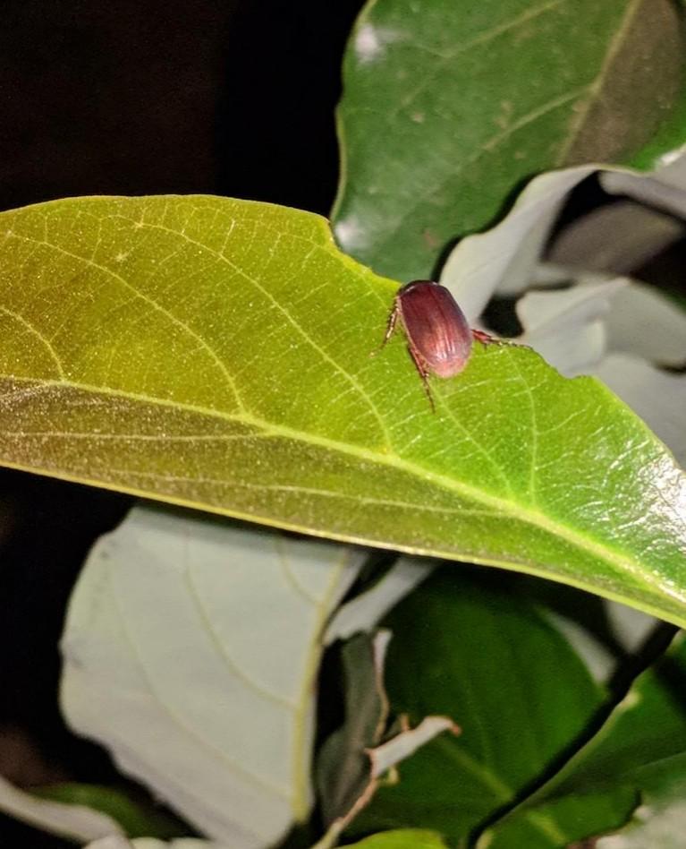 June bug eating avocado leaf