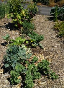 Transitioning vegetable bed keeping old plants for root exudates